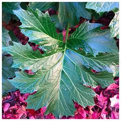 Acanthus Leaf (Melinda * Young) Tags: acanthus leaf architecture greek inspire nature green ca plant landscape city urban sidewalk leaves liiquidambar sweetgum winter