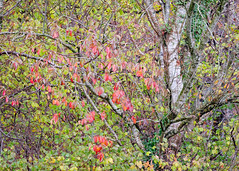 Autumn colours, Cyffylliog area, N/Wales, 2018. (Phlips photos) Tags: naturesdetail autumn fujixt2 cyffylliog woods leaves woodland 2018 wales northwales fuji55200mmlens