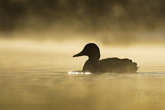 Mallard Drake in morning mist (J.Hunter Photography) Tags: