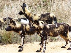 5165_Kruger Dogs (Chicamguy) Tags: south africda kruger national park wild dogs