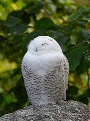 Happy to take a nap (Marc Haegeman Photography) Tags: owl buboscandiacus snowyowl birds berlin animals marchaegemanphotography nikon travel nature zoologischergarten bird vogel raptor
