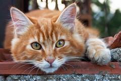 Red cat (Giada Cortellini) Tags: cat redcat kitty feline animal pets pet animali eyes occhi look sguardo canon portrait catportrait ritratto catlovers crazycatlady gatto gatti cats