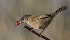 Curruca cabecinegra (Antonio Lorenzo Terrés) Tags: curruca carrasqueña parque natural ave pájaro fauna bird nature