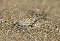 Ocypode cordimana Ghost crab 3 (Marine Explorer) Tags: nature beach coast australia marineexplorer