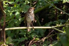 Hermit Thrush 1566 (maguire33@verizon.net) Tags: hermitthrush southcoastbotanicgarden bird wildlife palosverdespeninsula california unitedstates us