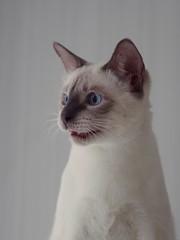 PC080828 (Vladimir V. Samoylov) Tags: 75mm animals cat e5markii mzuiko75mmf18 m43 micro43 microfourthirdsmicro43 olympus olympusm75mmf18 omd μ43