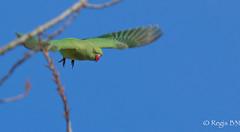 Je vous ai à l'œil les gilets jaunes ;-) (Régis B 31) Tags: northernparula parulaamericana parulidés parulineàcollier passériformes bird oiseau hautegaronne midipyrénées occitanie vol explore