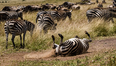 "PLAIN'S ZEBRA: ""IT FEELS SOOO GOOD! (John C. Bruckman @ Innereye Photography) Tags: plainszebra kenya maasaimara botswana stripes heatcontrol camouflage pattern barcodes foals migration bluewildebeest antelope serengeti tanzania aptos california95003 usa coth5"