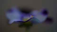 Balance.... (Piet photography) Tags: balance macromondays waterdrop macro