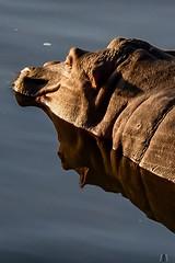 Reflection (SuzieAndJim) Tags: africa water reflection hippo hippopotamus suzieandjim