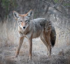Morning Coyote (alicecahill) Tags: ca california usa wild wildlife ©alicecahill sanluisobispocounty mammal slocounty marinaspit morrobay coyote animal droh dailyrayofhope