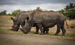 two rhino on gray field 631292 (imagesman) Tags: africa animals big endangered endangeredspecies environment grass grassland herbivore horns huge large mammal nature outdoors park reserve rhinoceros safari savanna southafrica travel wild wildanimal wildlife