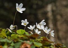 Buschwindröschen (Anemone nemorosa) (##thomas##) Tags: blume blüten buschwindröschen anemonenemorosa sigmasdquattro