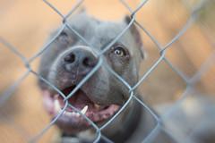 Fenced Pittie (LensbabyLindsay) Tags: pitbull dog animal pet cute lensbaby lensbabies