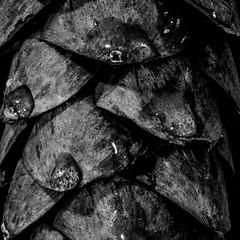 Dew Drop (x-raymond) Tags: centersquarebw macromonday macro redux2018 monochrome macromondays allnatural pinecone naturephotography longexposure nature