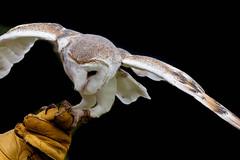 Getting a Good Grip (armct) Tags: tytojavanica tyto javanica barnowl owl handler talons grip glove oreillys lamingtonplateau flight flying landing plumage bird raptor predator nikon d810 28300mm