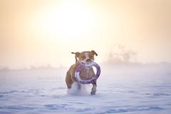 2018-12-17 (annamarias.) Tags: pitbull americanpitbullterrier apbt staffordshire staffordshireterrier pet dog animal canine mammal snow winter sun sunny fog foggy cold