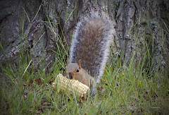 Brian_Squirrel-Lend Me An Ear 2 LG_092018_2D (starg82343) Tags: 2d brianwallace outside outdoors pasadenamd maryland squirrel corn corncob earofcorn eating funny amusing graysquirrel grass ftsmallwoodpk