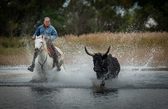 Chasing the Bull (MrBlackSun) Tags: camargue blackbull black bull horse gardian southfrance france nikon d850
