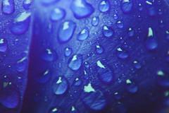 A Dewy Flower (leviweltin) Tags: flower blue macro water waterdrops dew colorful