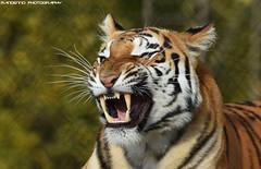 Bengal tigress - Mondo Verde (Mandenno photography) Tags: animal animals tiger tijger tigers tijgers bengal bengaalse zoo mondoverde landgraaf ngc nature nederland netherlands bigcat big cat cats dierenpark dierentuin dieren