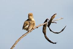 Golden-headed Cisticola (juvenile) (petefeats) Tags: australia birds brisbane cisticolaexilis cisticolidae goldenheadedcisticola nature oxleycommon passeriformes queensland juvenile