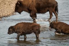 Crossing (Samuel Raison) Tags: bison bisons buffalo buffalos wildlife nature naturephotography wildlifephotography wild yellowstone yellowstonenationalpark yellowstonewildlife river crossing animals animal animauxsauvages rivière water eau nikon nikond800 nikon4600mmafsgvr