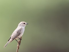 African Grey Flycatcher (Ted Smith 574) Tags: african grey flycatcher