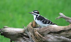 Hairy Woodpecker male / Pic chevelu male (ricketdi) Tags: hairywoodpecker picchevelu leuconotopicusvillosus