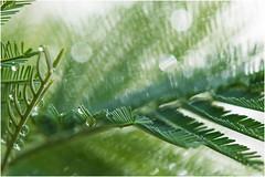 I'm back ... (miriam ulivi) Tags: miriamulivi nikond7200 nature verde green albero tree foglie leaves gocce drops bokeh macro pioggia rain