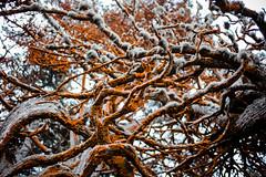 20151012_PointLobos_110 (peaceblaster9) Tags: tree cypress moss park pointlobos california leica mp type240 nature coast