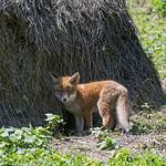 Fox kit next to the strawheap thumbnail