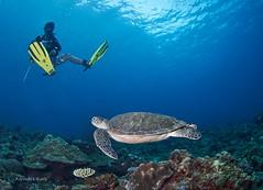 Turtle is coming (kyshokada) Tags: turtle elnido palawan philippines pacific diver reef corals underwater sony scuba animalplanet diving panglugabanisland