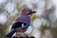 Geai des chênes (chogori20) Tags: bird oiseau nature animal wildlife garden jay