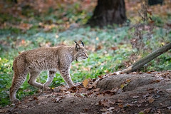 Lynx in the wild (deefken) Tags: mountain lion tree area undomesticated cat wildlife lynx wild trees forest green germany animals photography
