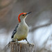 Red Bellied Woodpecker (JimUSNY) Tags:
