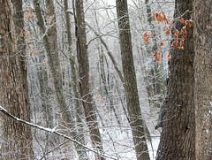 woods and squirrel (bidutashjian) Tags: woods trees winter snow squirrel animal cold white forest outside nature outdoors wild january nikon d3500 bidutashjian