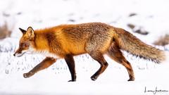 Fox (Lars G Jacobson) Tags: