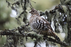 Ruffed Grouse (Prairie_Wolf) Tags: birding rachelmackayphotography brownloweryprovincialpark rockymountains alberta
