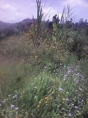 touffe roi des herbes (semowilson) Tags: nature biodiversite biodiversity biologie biology brousse bamiléké afrique africa agriculture cameroon cameroun climate climatique