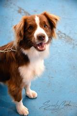 DSC_0104-1 (ScootaCoota Photography) Tags: dog pet animal expo showgrounds 2018 outdoors indoors nikon photo photography perth wa australia border collie