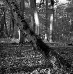 diagonal (salparadise666) Tags: rollei sl66 planar 80mm fomapan 10064 caffenol cl 30min nils volkmer slr analogue film medium format camera square diagonal nature landscape tree forest hannover niedersachsen region germany black white monochrome
