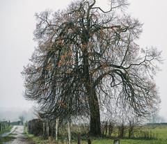 Tree by the Wayside (Bephep2010) Tags: 2018 7markiii aachen alpha baum deutschland germany ilce7m3 kornelimünster nrw nebel nordrheinwestfalen northrhinewestphalia sel85f18 sony weg wegesrand wiese winter fog grass ländlich meadow mist misty neblig path rural tree wayside ⍺7iii de