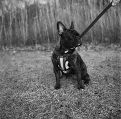 Good Boy (Film..Grain) Tags: frenchbulldog mamiya c220 ilford400 120mm film epsonv500 mediumformatfilm dog portrait monobath photography