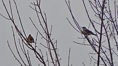 Fieldfare (Wildlife Terry) Tags: winter migrants november 2018 fieldfare towpath trentmerseycanal ettileyheath sandbach cheshire cheshireringcanal terryhughes