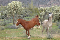 I didn't need to see that (littlebiddle) Tags: arizona saltriver nature horses equine wildlife animals mammal