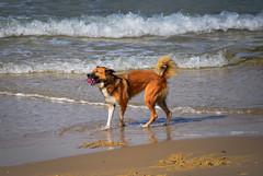 Dog playing at Alma Beach - Tel Aviv Israel (mbell1975) Tags: telaviv gushdan israel il dog playing alma beach tel aviv israeli mediterranean sea shore shoreline coast coastline meer water sand pet animal