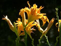 Hemerocallis P1420884mods (Andrew Wright2009) Tags: longbridge water garden leckford hampshire england uk flowers plants cultivated hemerocallis day lily orange