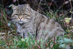 Wild Cat (Hugo von Schreck) Tags: hugovonschreck wildcat wildkatze cat katze animal tier fantasticnature canoneos5dmarkiii tamronsp150600mmf563divcusda011