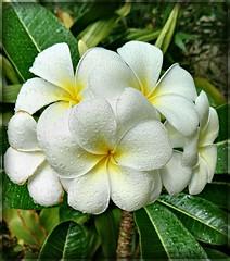 Who does not love Frangipani... (Anni - with camera) Tags: frangipani inmygarden white yellow green water plumeria